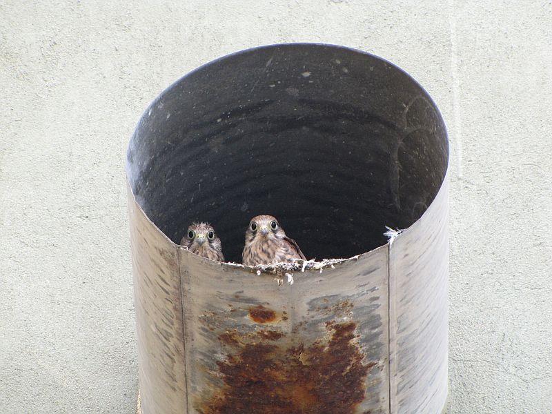 Kirepülés előtt álló vércsefiókák a csőben (Fotó: Bank László)