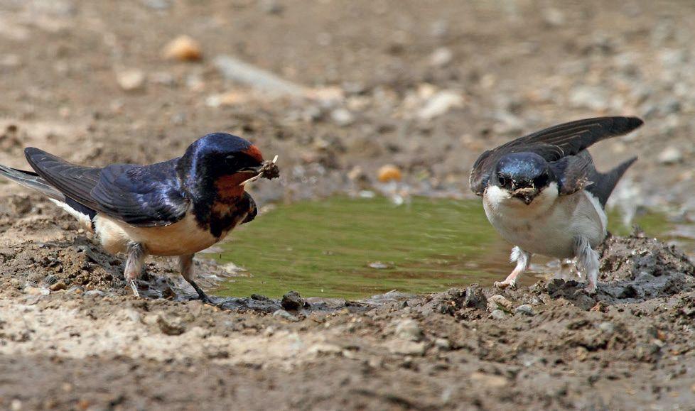 Fecskék sarat gyűjtenek fészeképítéshez