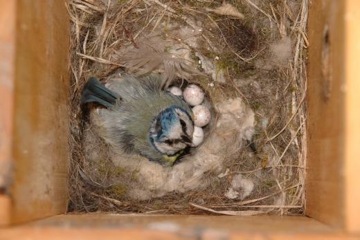 Kék cinege fészekalj