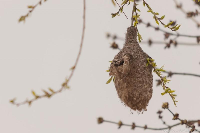 Függőcinege fészek (Fotó: Mecseki Attila)