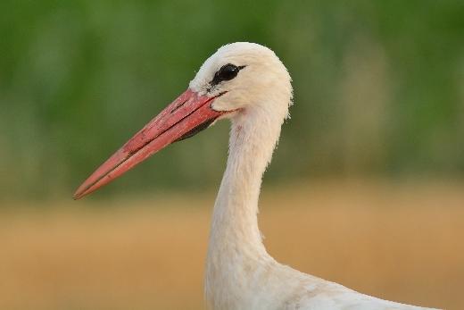 Fehér gólya (Fotó: Dr. Heincz Miklós)