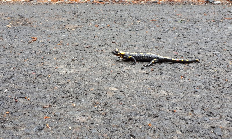 Foltos szalamandra (Fotó: Balogh Katalin)