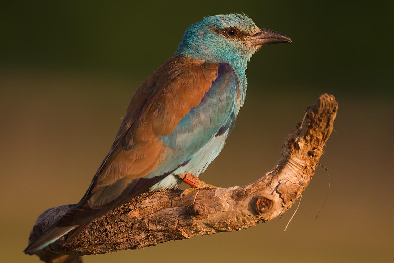 """""""PW1"""" színes gyűrűs madár (Fotó: Jakab Sándor)"""