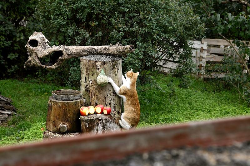 A magaslati etetőhelyek önmagukban nem feltétlenül azt jelentik, hogy a házi macska nem képes feljutni ezekre, hanem azt, hogy amire ezt megteszi, addigra a madaraknak ven idejük elmenekülni (Fotó: Orbán Zoltán).