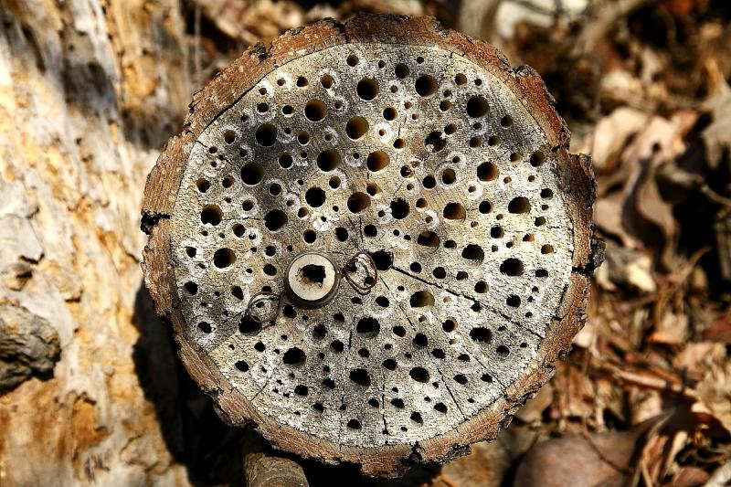 Ebben a 13 cm átmérőjű tűzifa kugliban 197 db (2, 4, 8 mm-es) méhecskehotel-furat van (Fotó: Orbán Zoltán)
