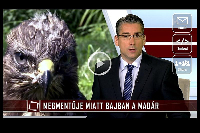 """Egy sajnálatos, de tipikus példa a sok közül, amikor a jó szándék állatkínzáshoz, a""""megmentett"""" madár megnyomorításához vezetett – tv2 Tények / 2015.06.29. (Forrás: tv.hu)"""