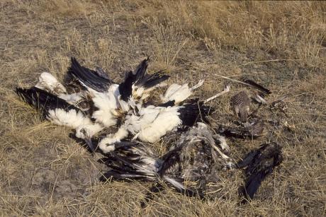Áramütéstől elpusztult teljes fehér gólya fészekalj (Fotó: Orbán Zoltán).