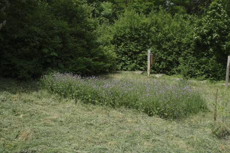 Kaszálatlan rovarmenedék gyepfolt egy Madárbarát kertben (Fotó: Orbán Zoltán).