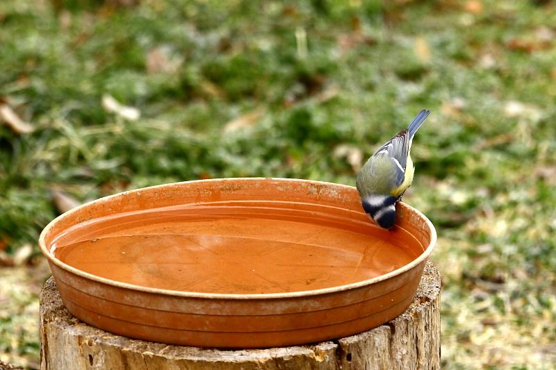 A kék cinege tarkótáji ál-arca szemből nézve, amikor a madár a fejét lehajtva eszik vagy iszik, legalább olyan jól működik, mint hátulról / False bird face [two faces bird] - Blue Tit, Parus caeruleus (Fotó/Photo: Orbán Zoltán/Zoltán Orbán).