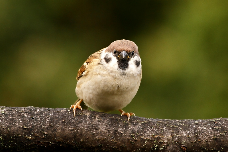 A mezei veréb ketős pofafoltjai második arcként is funkcionálnak / False bird face [two faces bird] - Eurasian Tree Sparow, Passer montanus (Fotó/Photo: Orbán Zoltán/Zoltán Orbán).