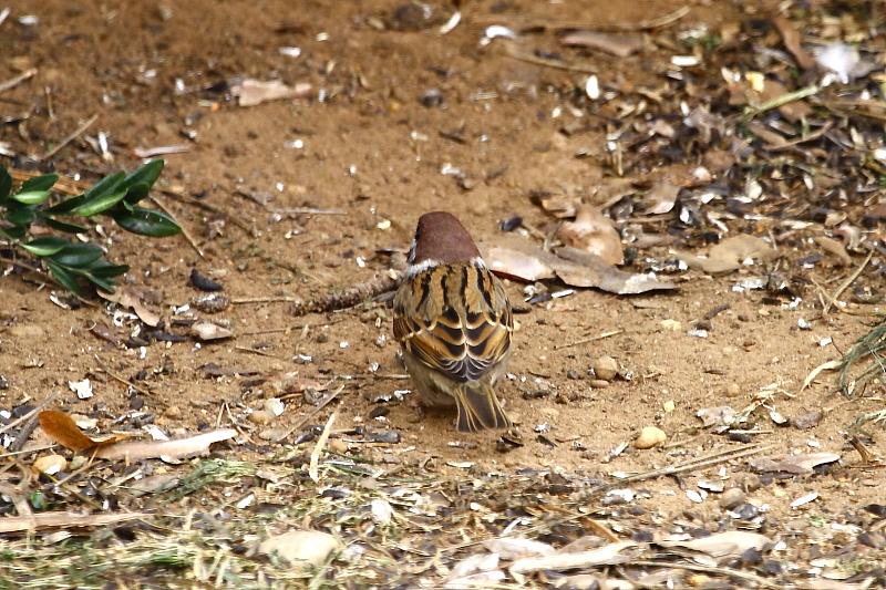 Mezei veréb szemfoltos tarkómintázata / False bird face [two faces bird] - Eurasian Tree Sparrow, Passer montanus (Fotó/Photo: Orbán Zoltán/Zoltán Orbán).