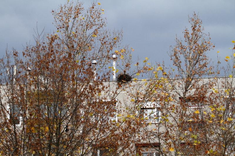 Dolmányos varjú fészke lakótelepen (Fotó: Orbán Zoltán)
