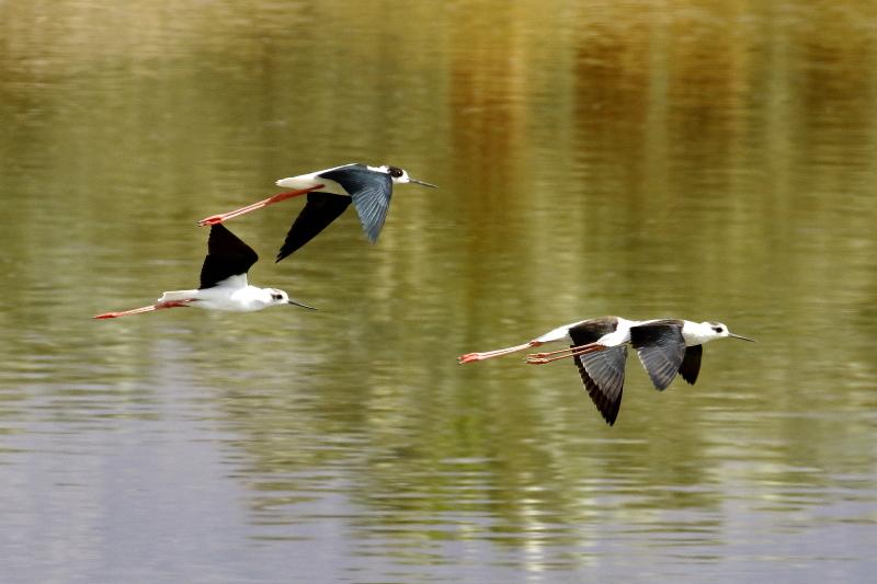 Vonuló gólyatöcsök Dél-Izraelben (Fotó: Orbán Zoltán)