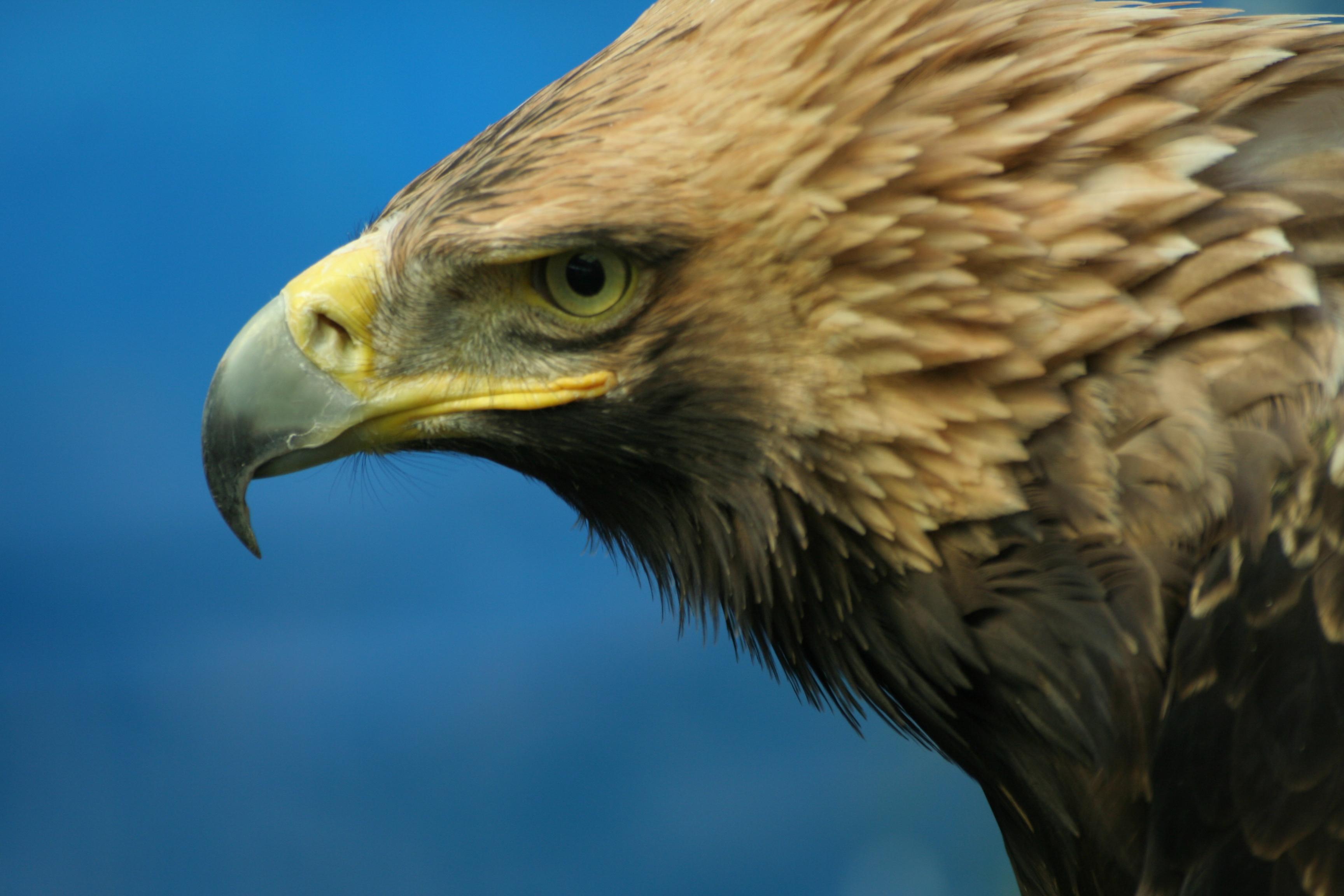 Aquila heliaca (Fotó: Szitta Tamás)