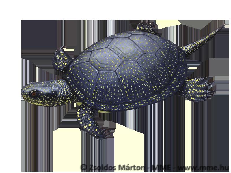 Képtalálatok a következőre: mocsári teknős