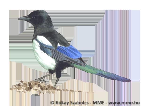 Mindenevő madarak
