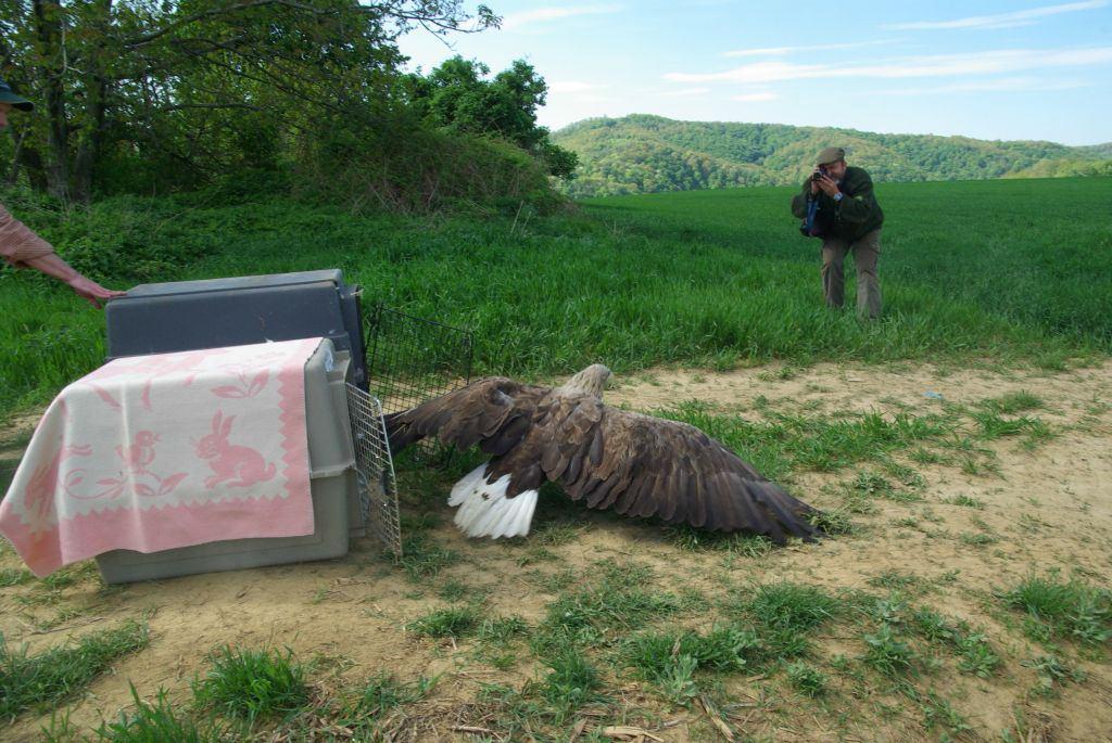 Az egyik öreg rétisas az elengedés pillanatában (Fotó: Nagy Gábor)