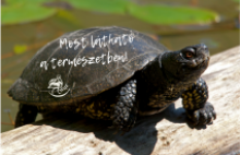 Mocsári teknős (Fotó: Tóth Mara)