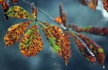 Idő előtt, akár már augusztus elején elkezdi lehullatni megbarnult leveleit a vadgesztenye (Fotó: dailymail.co.uk)