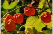 A lampionvirág (Physalis alkekengi) feltűnő termése (Forrás: panoramio.com).