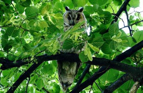 Az erdei fülesbagoly egész évben az ember közelében él (Fotó: Orbán Zoltán)