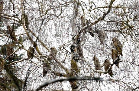 Telelő erdei fülesbaglyok (Fotó: Orbán Zoltán)