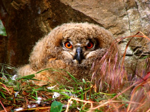 Biztonságban nevelkedő uhufióka egy művelés alatt álló kőbányában. A Basalt-Középkő Kőbányák Kft. munkatársai a költőfal körüli védőzóna kialakításával óvták a költést. (fotó: Schwartz Vince)