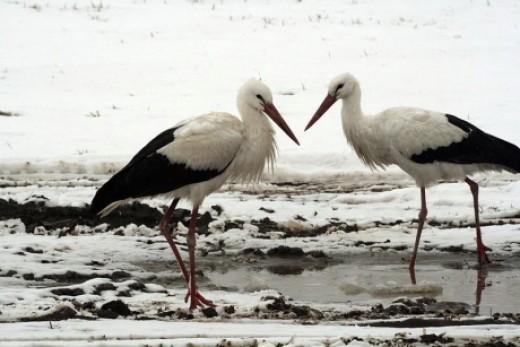 Telelő fehér gólyák (Fotó: Dr. Mezey Károly).