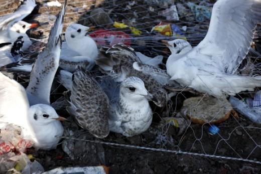 Sirályok a befogóháló alatt egy szeméttelepen (Fotó: Orbán Zoltán).