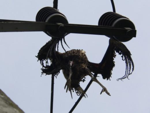 Áramütést szenvedett fehér gólya teteme vasúti felsővezetéken (Fotó: Máthé Zoltán).