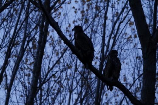 Éjszakázásra beült sasok az MME sasfigyelő öko-túráján (Fotó: Orbán Zoltán).
