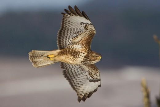 2012 év madara az egerészölyv (Fotó: Papp Gábor - RaptorImages.hu).