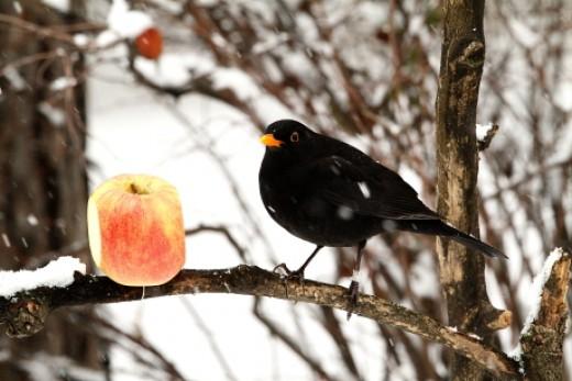 Fekete rigó behavazott alma etetőn (Fotó: Orbán Zoltán).