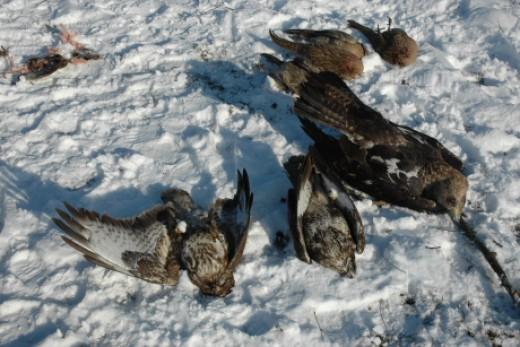 mérgezett madarak (fotó: Horváth Márton)