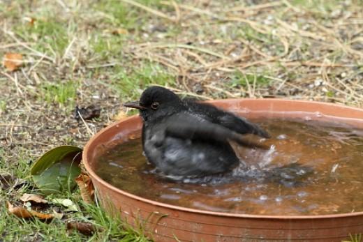 Fekete rigó téli talajetető-itató vizében fürdik (Fotó: Orbán Zoltán).