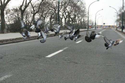 Útról felszálló parlagi galambok (Fotó: Orbán Zoltán).
