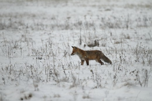 Vörös róka havas mezőn (Fotó: Orbán Zoltán).