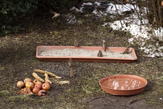 Talajetetőre kihelyezett tálcás porfürdőt használó házi verebek (Fotó: Orbán Zoltán).