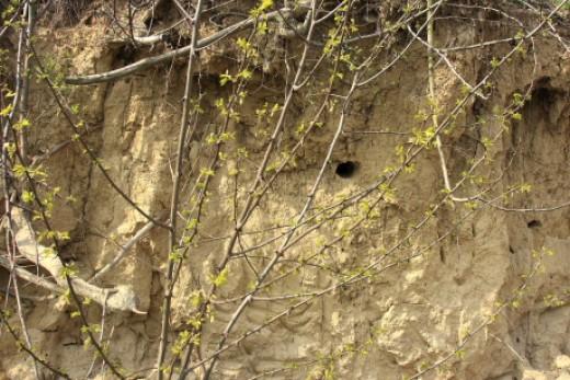 Benövényesedett partifecske és gyurgyalag költőpartfal (Fotó: Orbán Zoltán). A növényzet felnövekedésével a partfalak alkalmatlanná válnak a partifecskék és gyurgyalagok költésére.