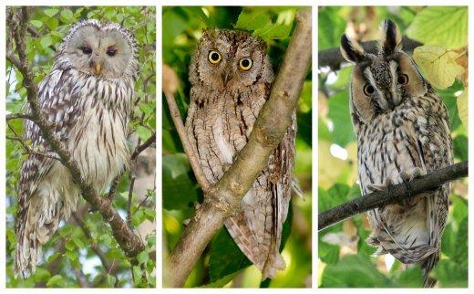 A három választható faj az uráli bagoly, a füleskuvik és az erdei fülesbagoly volt (Fotók: Szilágyi Attila)