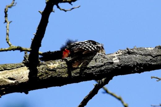Ágon napfürdőző balkáni fakopáncs / Sunbathing Syrian Woodpecker (Fotó: Orbán Zoltán).