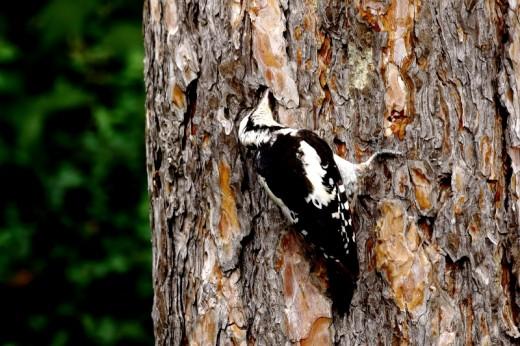 Balkáni fakopáncs kéregrepedésben vadászik / Syrian Woodpecker (Fotó: Orbán Zoltán).