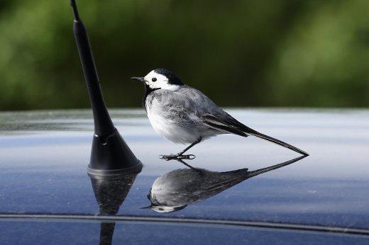 A madarak élőhelyén parkoló autók fényezése is vizuális madárcsapda (a képen barázdabillegető látható) lehet (Fotó: Orbán Zoltán)
