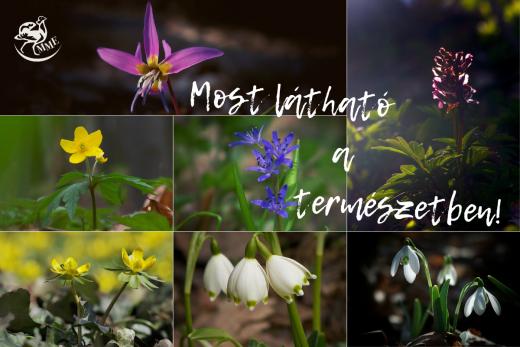 Kakasmandikó, keltike, bogláros szellőrózsa, tavaszi csillagvirág, téltemető, tőzike, hóvirág (Fotók: Babai Dániel)