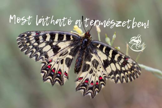 Április közepétől kezdenek repülni a hazai pillangók (Fotó: Morvai Szilárd)