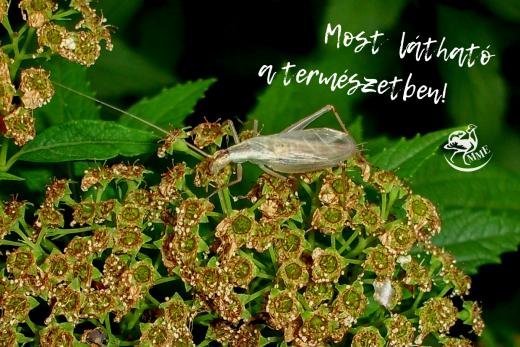 A pirregőtücsök 1-1,5 cm nagyságú rovar (Fotó: Kárpáti Marcell)