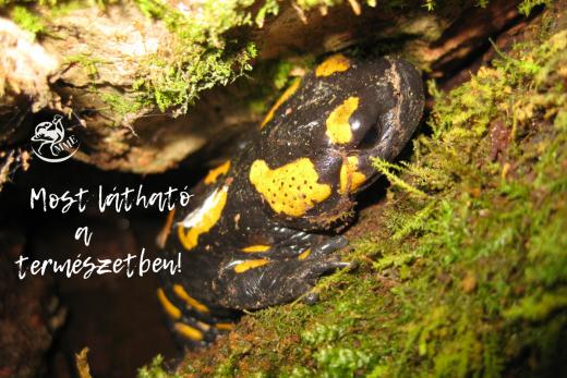 A foltos szalamandra olyan, mint egy kis mesebeli sárkány (Fotó: Vörös Judit)