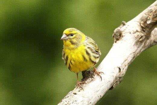 A csicsörkék a legkorábban távozó madarak közé tartoznak (Fotó: Orbán Zoltán)