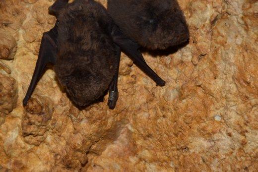 Hosszúszárnyú denevér - Schreiber's bat (Fotó: Dr. Boldogh Sándor András))