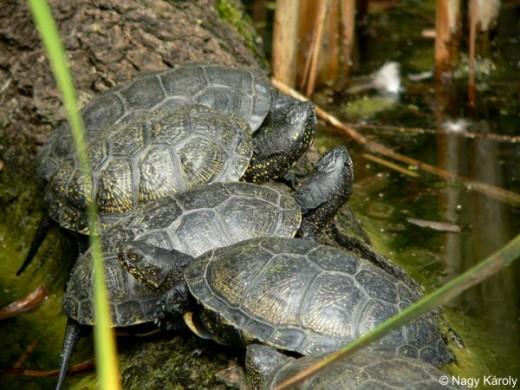 Mocsári teknős (Fotó:Nagy Károly)